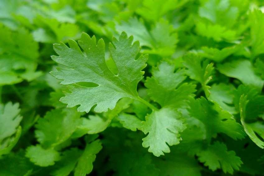 parsley-741996_960_720.jpg